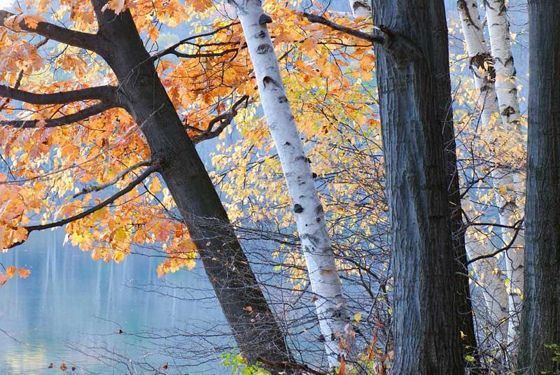 birches-and-oak.jpg