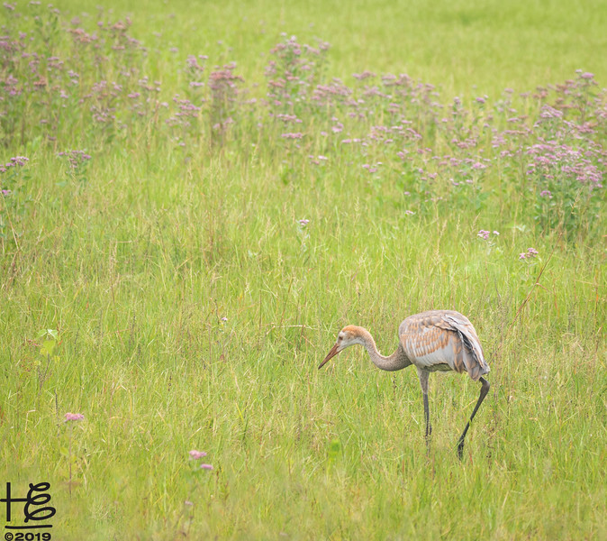 Young sandhill crane