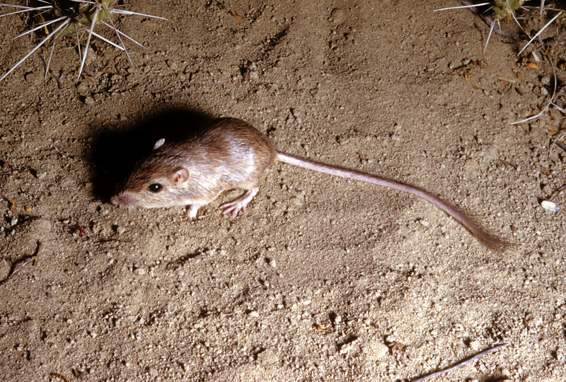 Chihuahuan Pocket Mouse (Chaetodipus eremicus) Big Bend National Park, TX, 1958