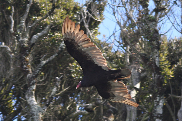 Jote de Cabeza Colorada Turkey Vulture