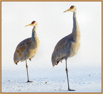 Sand Hill Cranes, CP 2-1-13