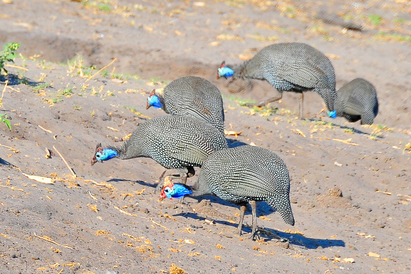 _D037831 Feeling Blue -- Helmeted Guineafowl (pecking at scraps of elephant droppings for undigested seeds)
