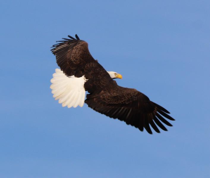 Eagle 81