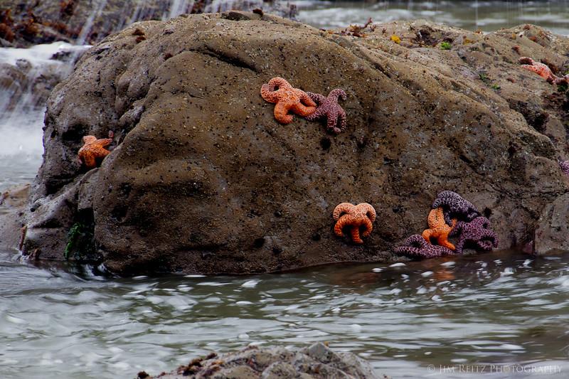 Starfish at low tide, Rialto Beach, La Push, WA