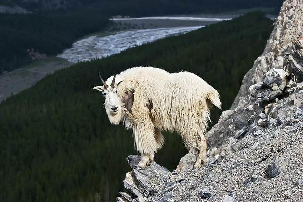 Mountain Goats of the Icefield Parkway
