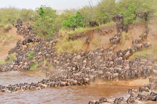wildebeests, gnus, migration, masai mara, bagh safari