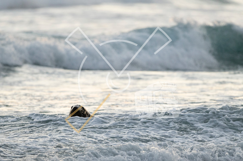 Adult New Zealand Sea Lion playing and swimming in the surf