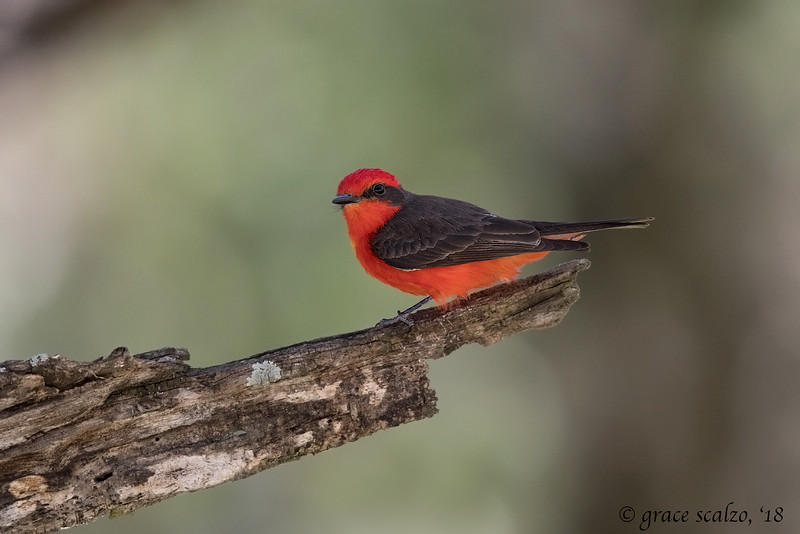 Vermillion Flycatcher (Male)