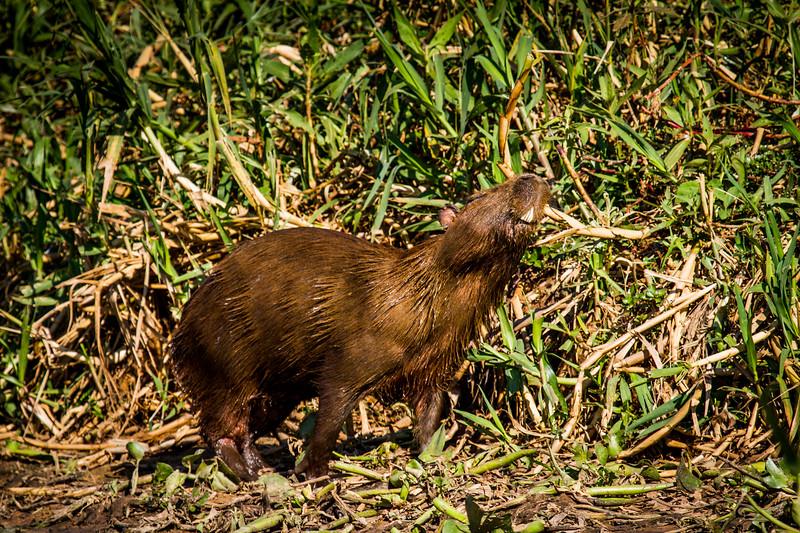 capybara (Hydrochoerus hydrochaeris) Pantanal, Poconé, Brazil. Male adult scent marking.