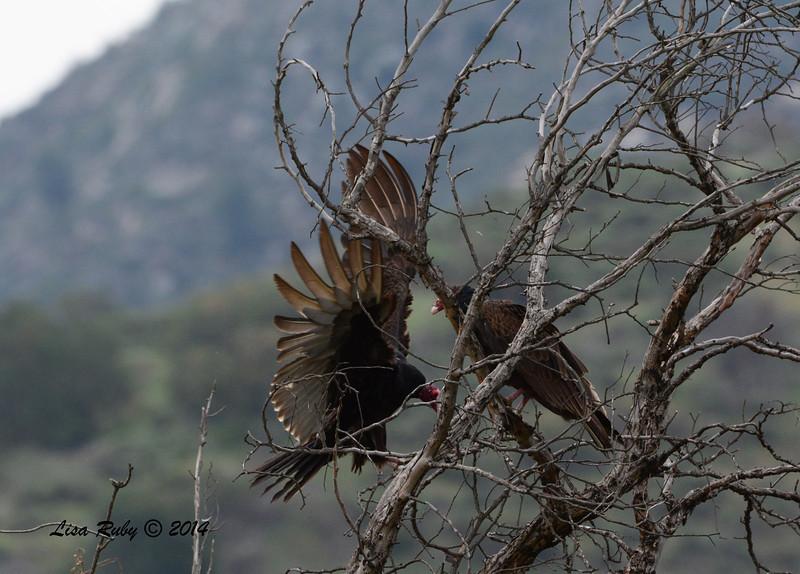 Turkey Vultures - 4/4/14 - Lake Hodges near Lake Shore Drive