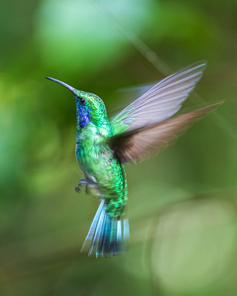 Green violet-eared hummingbird
