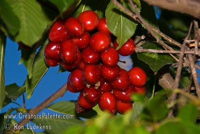 Compact Stella Cherry - Prunus avium