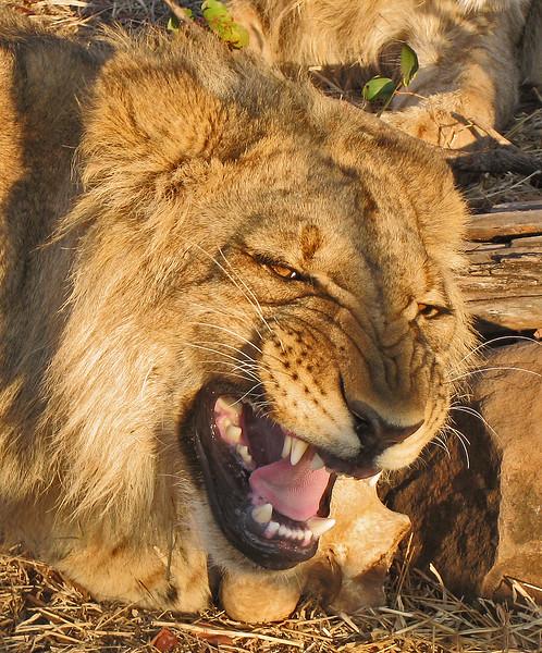 Lion Encounter SnarlZIMBABWELion Encounter Snarl.jpg