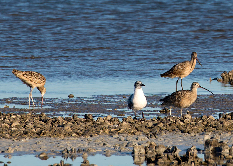 Marbled Godwit, juvenile Laughing Gull, and two Long-billed Curlews