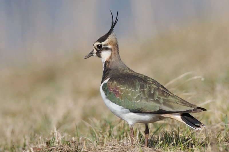 Northen lapwing