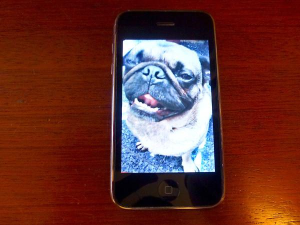 pug on phone