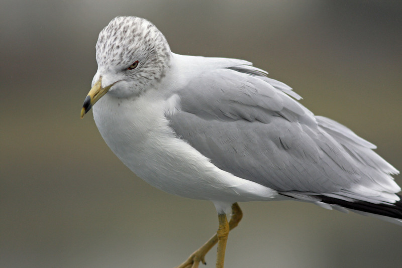 Ring-billed Gull (Contempo Lagoon)