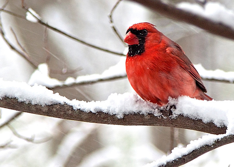 SnowyCardinal5b.jpg