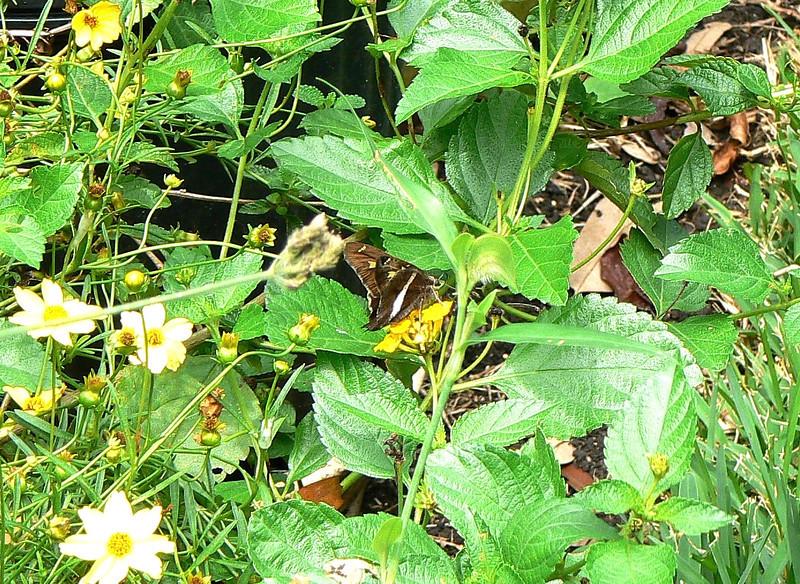 H03874  P102ChioidesAlbofasciatus480 Sept. 5, 2007  12:19 p.m.  P1020480 White-striped Longtail, Chioides albofasciatus.  On lantana at 2601.  Hesperiid.