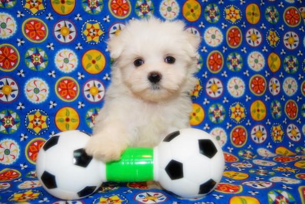 ( * Puppy Number #  ML 622 * )