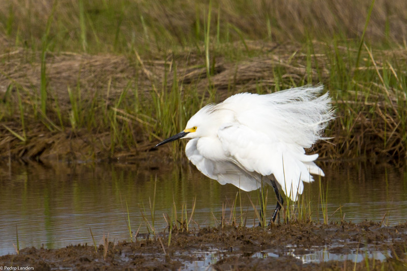 Another Egret Bad Hair Day