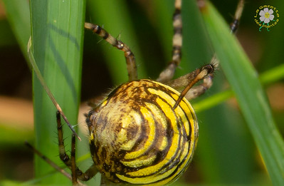 Araignées (Aranéides)