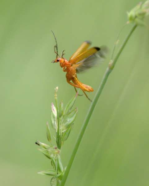 Common red soldier beetle v2 4.7.20.jpg