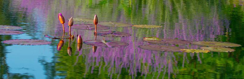 LAVENDER REFLECTIONS FOREST PARK SAINT LOUIS