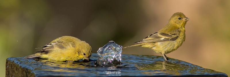 Wet Warblers