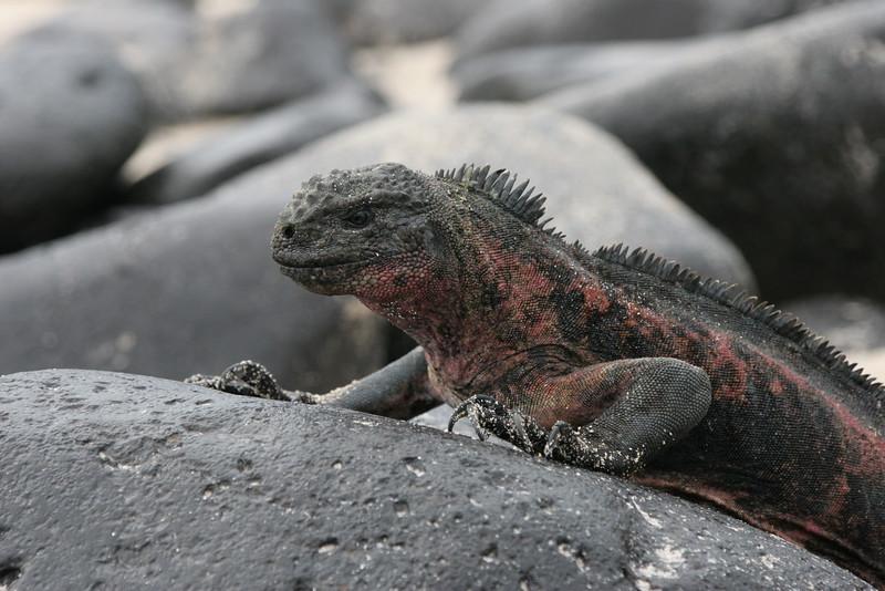 2007-02-19-0004-Galapagos with Hahns-Day 3, Espanola-Marine Iguana.JPG