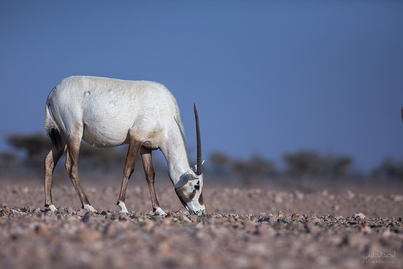 Arabian Oryx (71).jpg