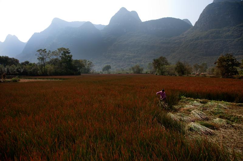 Harvest, Yanghsuo, China