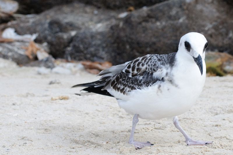 Immature Swallow-tailed Gull