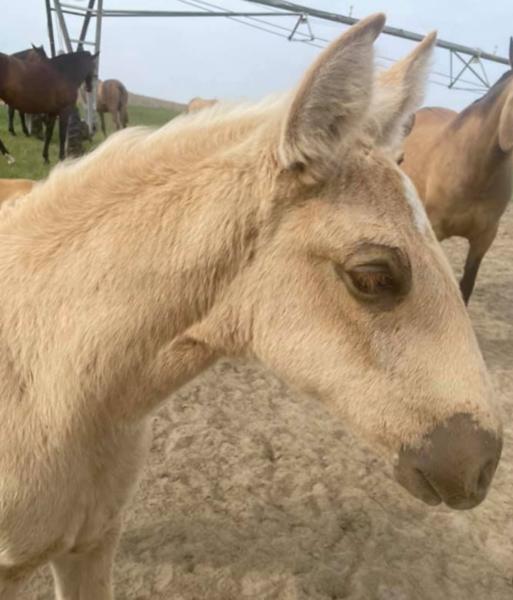 Foal #7 FILLY   Alzina X Tango de Millan