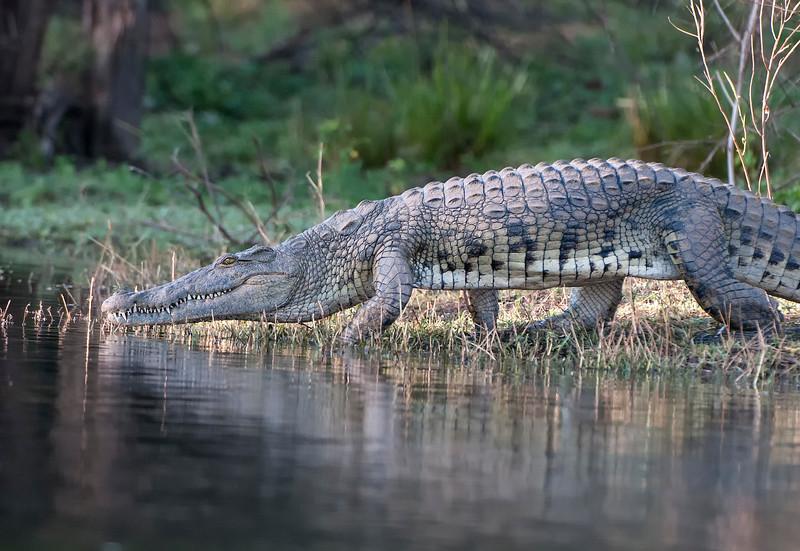 Crocodiles-4.jpg