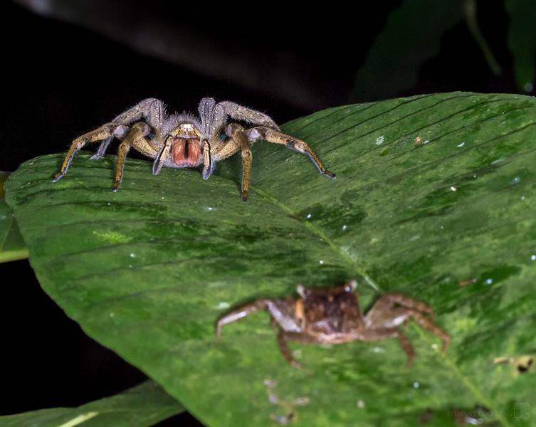 Bolivian wandering spider
