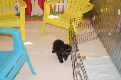 2010 Poodle Adopted Puppies