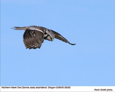 NorthernHawkOwl38292.jpg