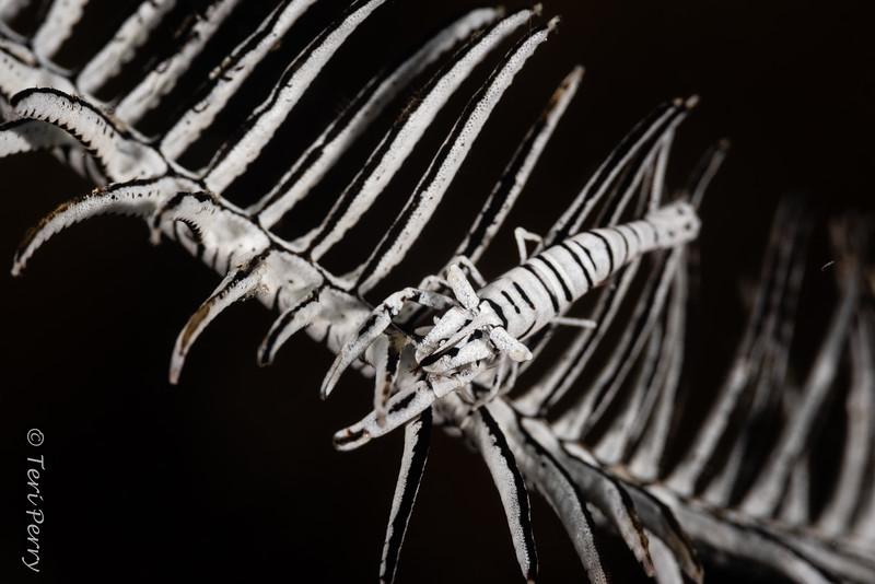 SHRIMP - crinoid-4213-Edit.jpg