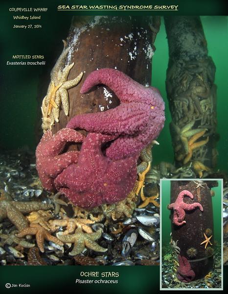 Wasting Sea Star Syndrome survey  - OCHRE STAR ( Pisaster ochraceus ), MOTTLED STAR ( Evasterias troschelii ), Whidbey Island, January 27, 2013