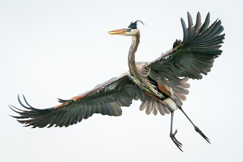 Great Blue Heron, breeding plumage