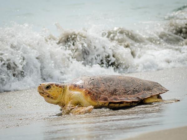 Sea Turtle Release - August 26, 2015