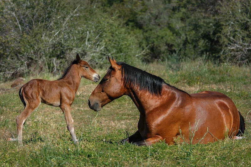 Newborn Wild Horse Foal and Mother #1
