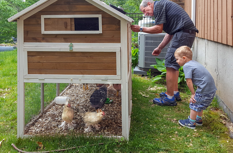 And, Grampy wants to take them out of the coop; not sure if that is a good thing?