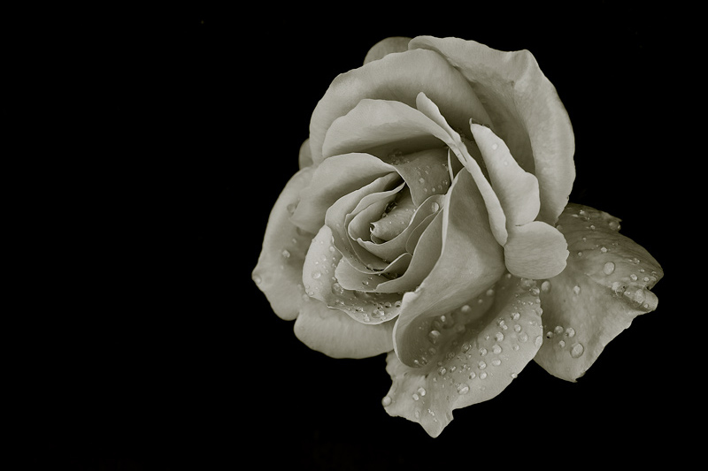 Rose_BW.jpg