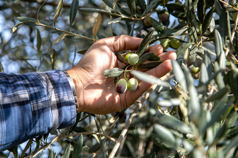 Olives are harvested at different stages of ripeness and then blended into olive oil.