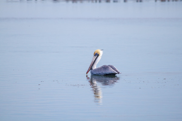 tranquil pelican
