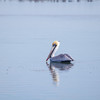 tranquil pelican