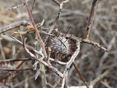 White Rhatany (Krameria bicolor)
