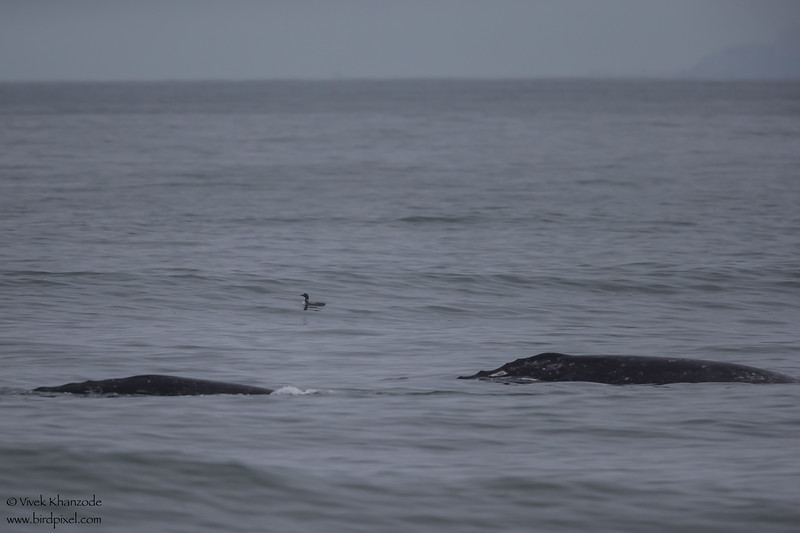 Gray Whale - Nipomo, CA, USA